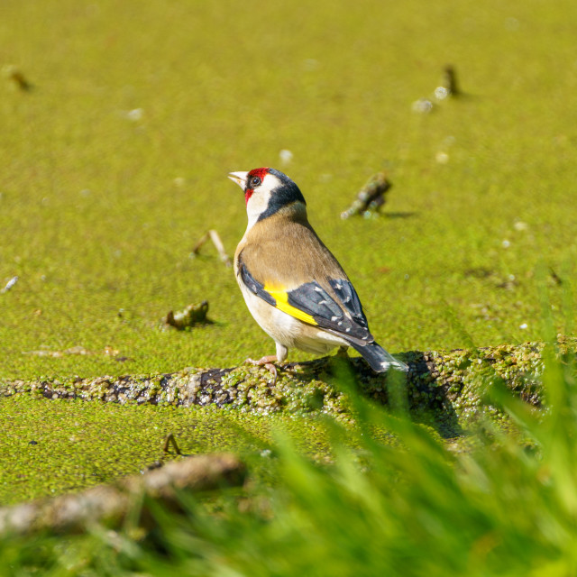 """European Goldfinch (Carduelis carduelis) in the UK"" stock image"