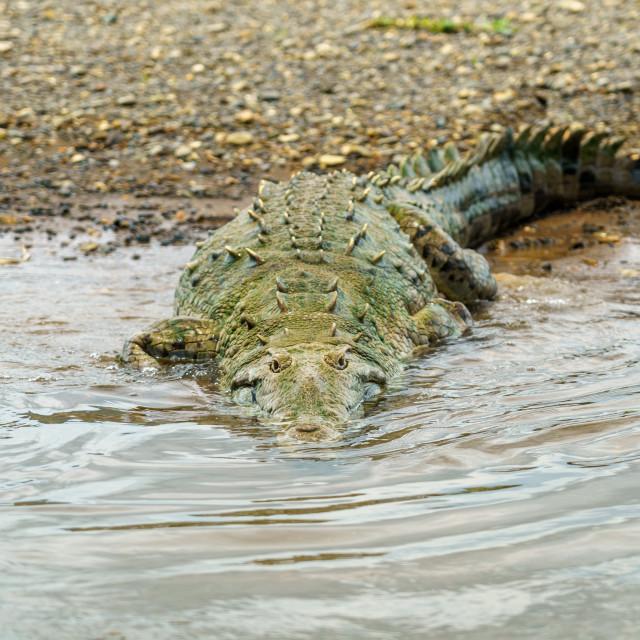 """American Crocodile (Crocodylus acutus), taken in Costa Rica."" stock image"