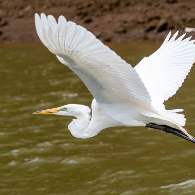 """Great Egret (Ardea alba) taken in Costa Rica"" stock image"