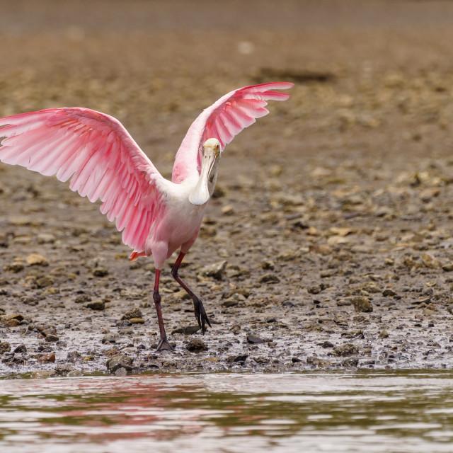 """Roseate Spoonbill (Platalea ajaja), taken in Costa Rica"" stock image"
