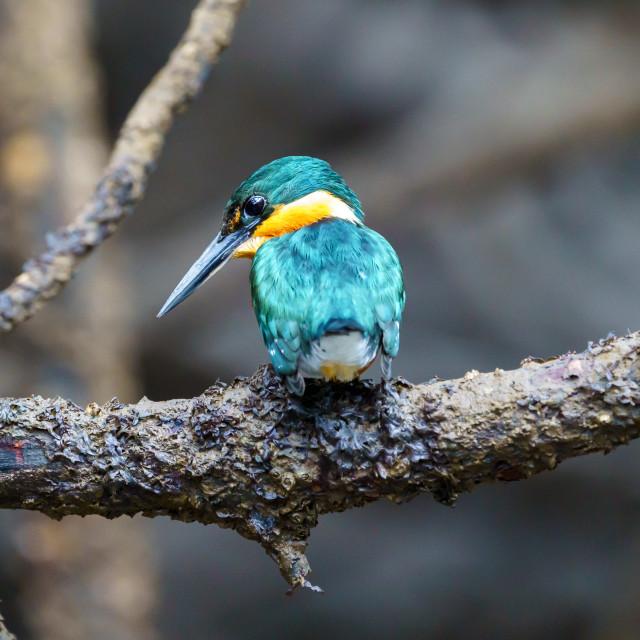 """American pygmy Kingfisher (Chloroceryle aenea)"" stock image"