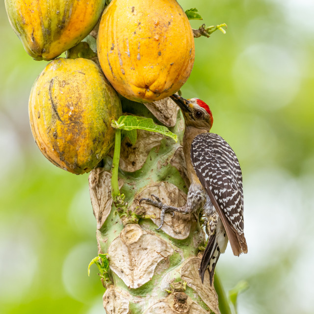 """Red-crowned Woodpecker (Melanerpes rubricapillus) in Costa Rica"" stock image"