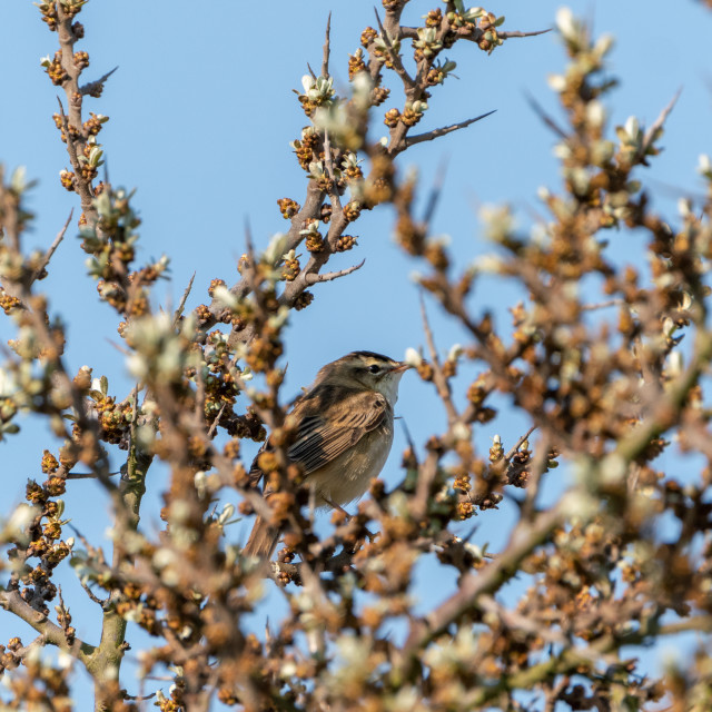 """Sedge Warbler (Acrocephalus schoenobaenus) taken in UK"" stock image"
