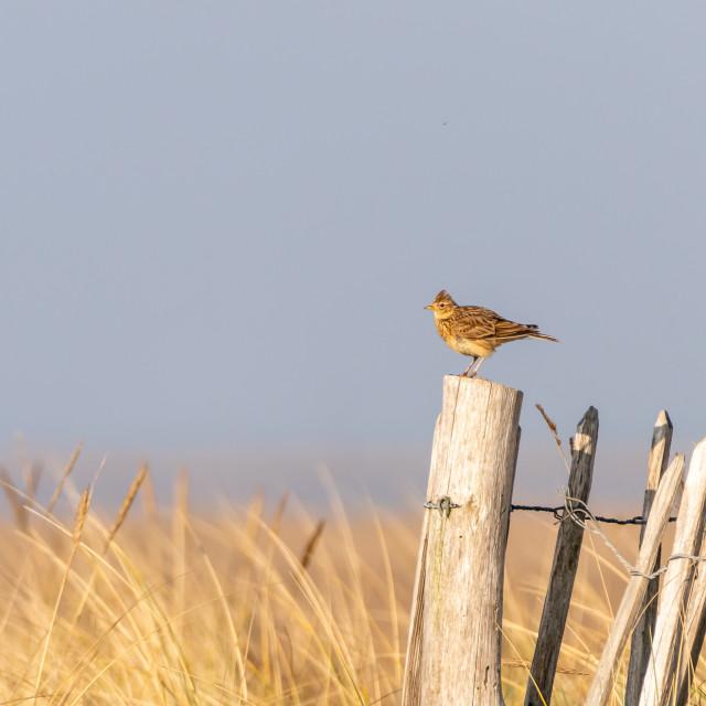 """Eurasian skylark (Alauda arvensis)"" stock image"
