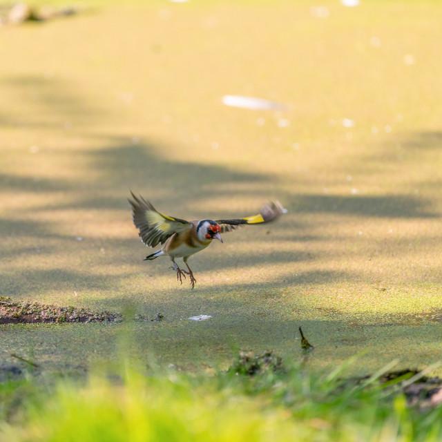 """European Goldfinch (Carduelis carduelis) in the UK"" stock image"