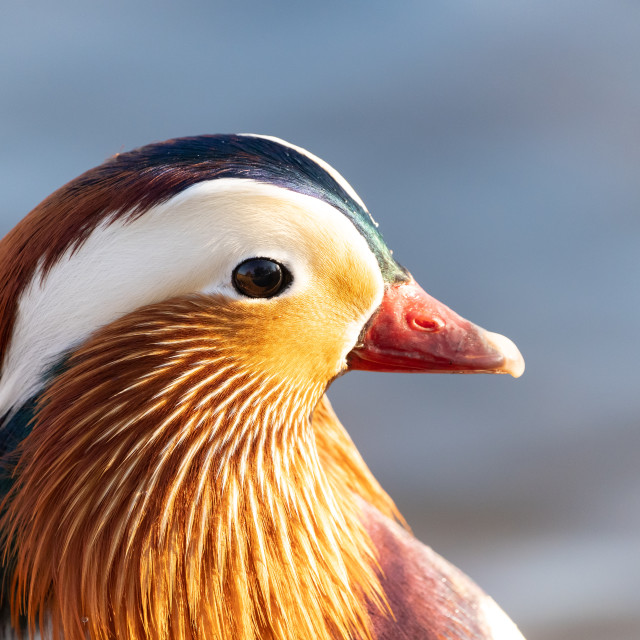 """Mandarin Duck (Aix galericulata), taken in the UK"" stock image"