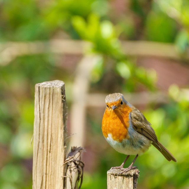 """""""European Robin (Erithacus rubecula) perched on a fence in summer, taken in..."""" stock image"""
