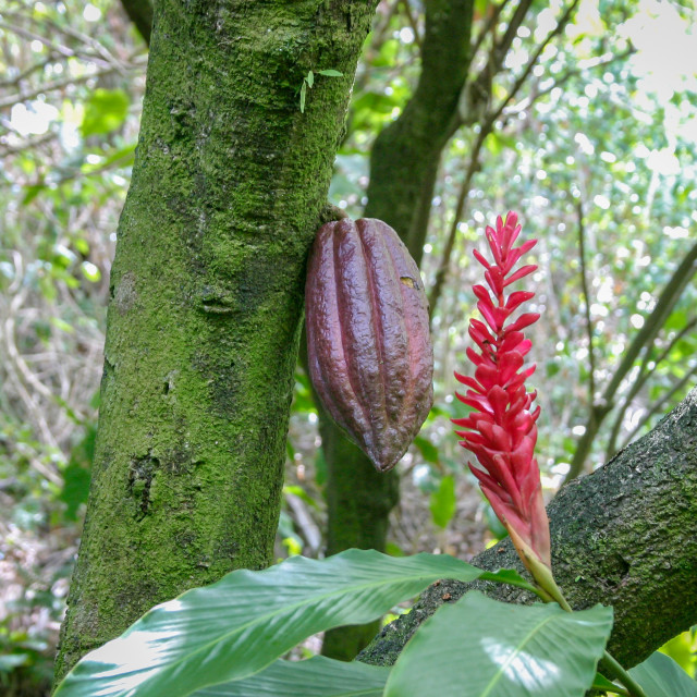 """Pod of a chocolate tree (Theobroma cacao)"" stock image"