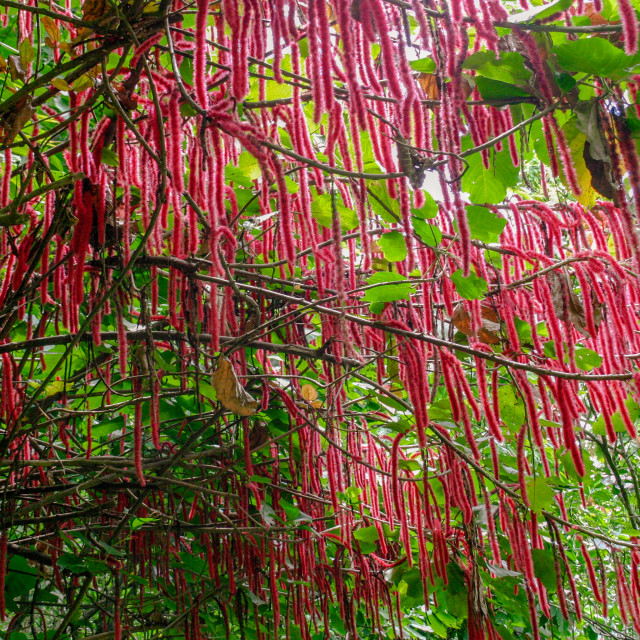 """Flowering Chenile plant (Acalypha hispida) in the Diamon Botanical Gardens, St Lucia"" stock image"
