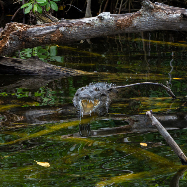 """American Crocodile in a swamp in Jamaica"" stock image"