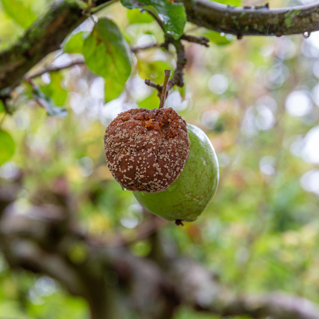 """Close up of rotten apple hanging on a tree branch"" stock image"