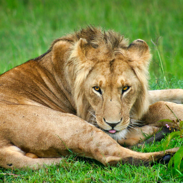 """""""Lion keeping watch"""" stock image"""