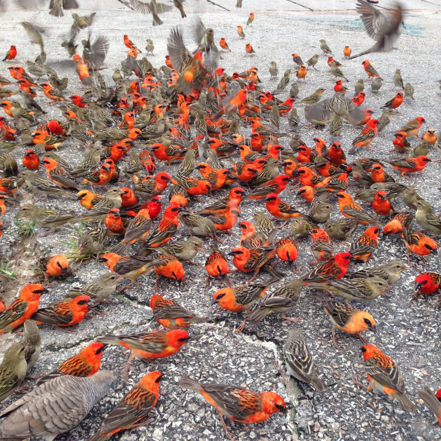 """Flock of Red Cardinals"" stock image"