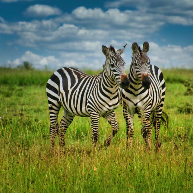 """Zebra on the Mara"" stock image"