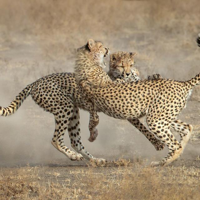 """Cheetah Siblings Playfighting"" stock image"