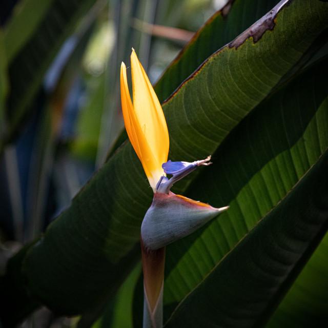 """Bird of Paradise"" stock image"