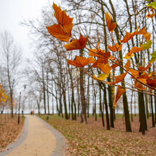 """""""Yellow and Orange Maple Autumn Leaves in the Park"""" stock image"""