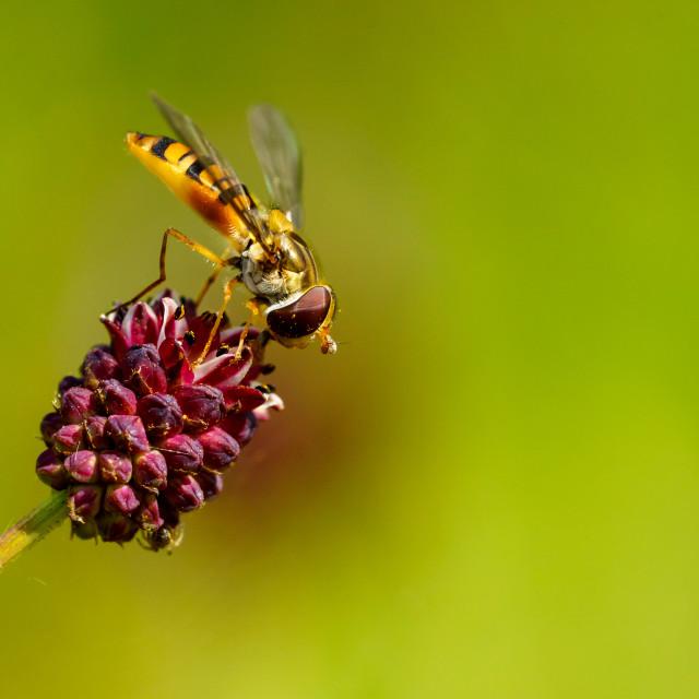 """Hoverfly (Eupeodes latifasciatus) in the UK"" stock image"