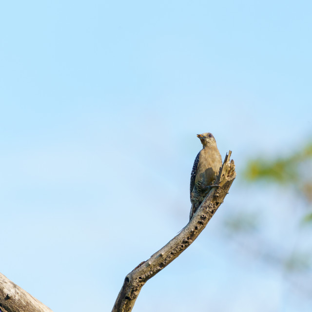"""Hoffmann's Woodpecker (Melanerpes hoffmannii), taken in Costa Rica"" stock image"
