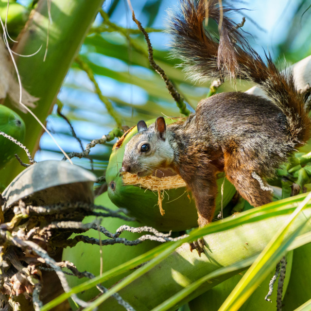 """Variegated Squirrel (Sciurus variegatoides) in Costa Rica"" stock image"