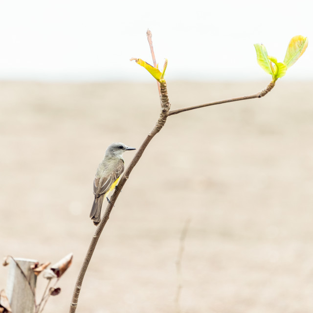 """Tropical kingbird (Tyrannus melancholicus) perched"" stock image"