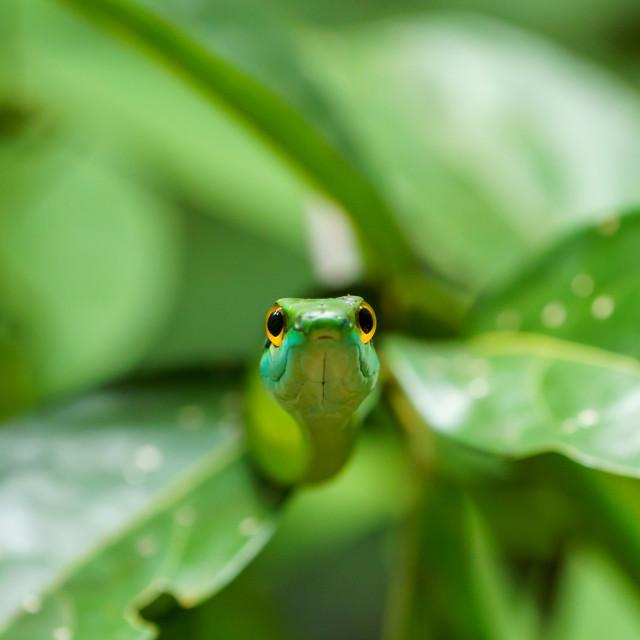 """""""Cope's Vine Snake (Oxybelis brevirostris) in Costa Rica"""" stock image"""