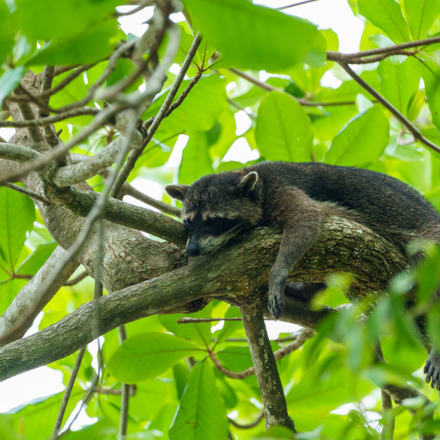 """Crab-eating Raccoon (Procyon cancrivorus) in Costa Rica"" stock image"