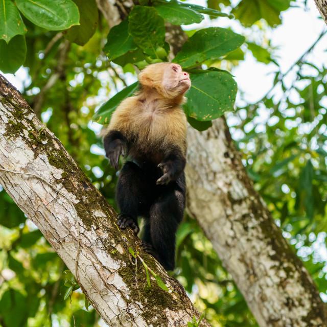 """""""capuchin monkey (Cebus capucinus), taken in Costa Rica"""" stock image"""
