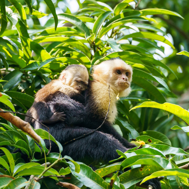 """capuchin monkey (Cebus capucinus) with baby, taken in Costa Rica"" stock image"