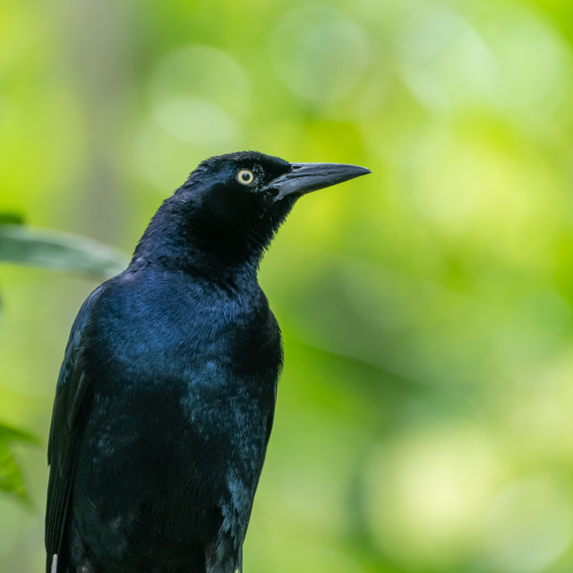 """Common Grackle (Quiscalus quiscula) in Costa Rica"" stock image"