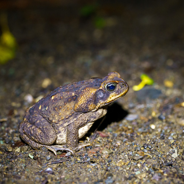 """Cane Toad out hunting for food at night, taken in Costa Rica"" stock image"