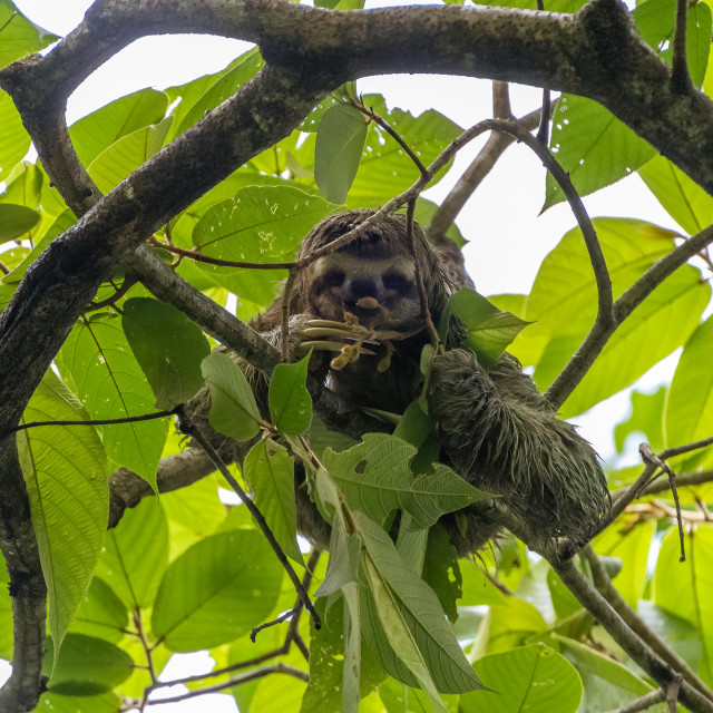 """Three-toed Sloth (Bradypus infuscatus), taken in Costa Rica"" stock image"