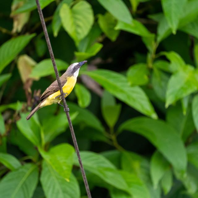 """Great Kiskadee (Pitangus sulphuratus) taken in Costa Rica"" stock image"