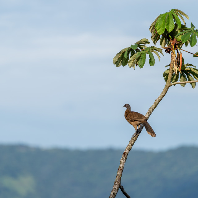 """Grey-headed chachalaca (Ortalis cinereiceps) in Costa Rica"" stock image"