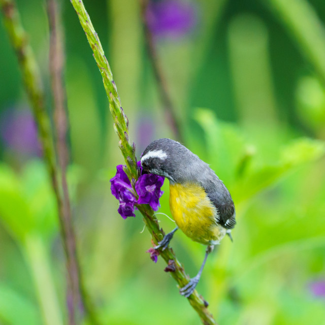 """Bananaquit (Coereba flaveola), taken in Costa Rica"" stock image"
