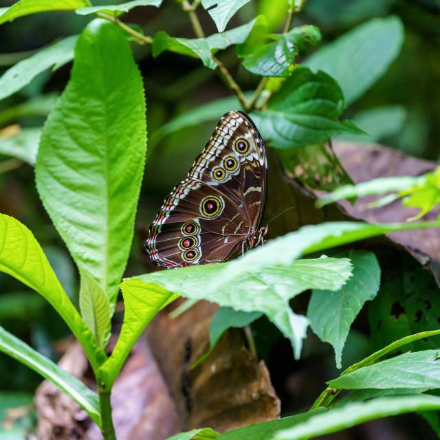 """""""Blue Morpho butterfly (Morpho peleides), Costa Rica"""" stock image"""