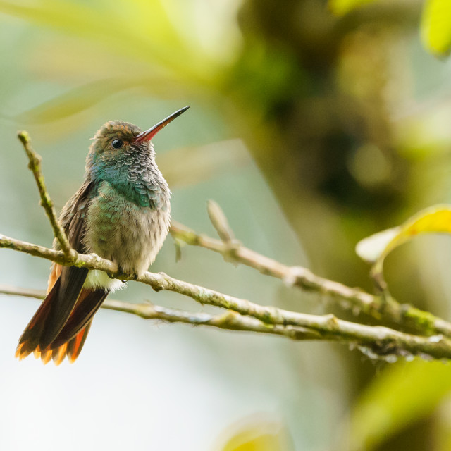 """Rufous-Tailed Hummingbird (Amazilia tzacatl), taken in Costa Rica"" stock image"