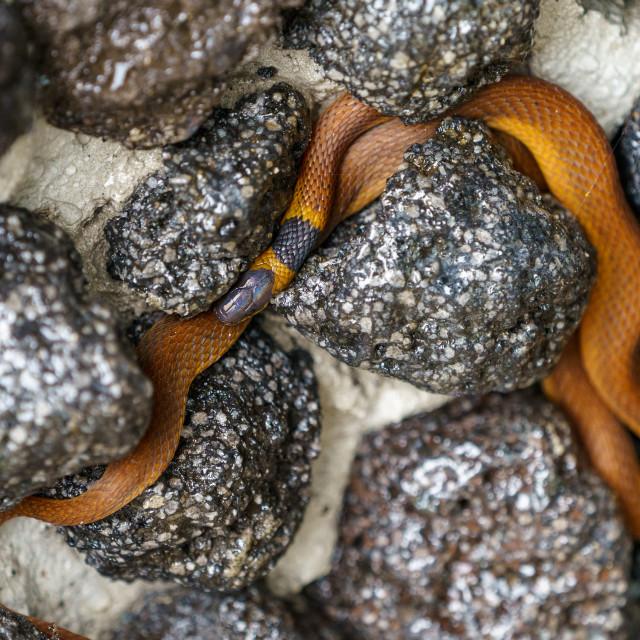 """""""Red coffee Snake (Ninia sebae) in Costa Rica"""" stock image"""
