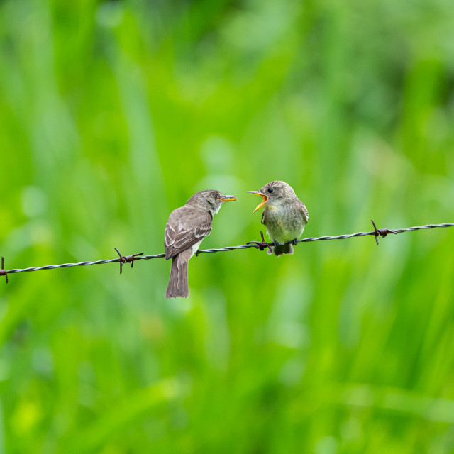 """Ochraceous Pewee (Contopus ochraceus) on wire"" stock image"