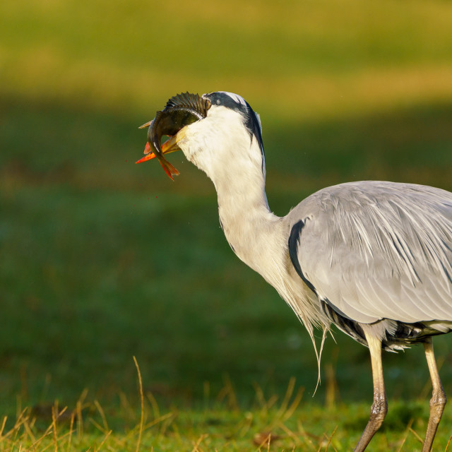 """Grey Heron (Ardea cinerea) catching a perch fish in a pond in early morning..."" stock image"