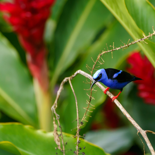 """Red-legged Honeycreeper (Cyanerpes cyaneus) in Costa Rica"" stock image"