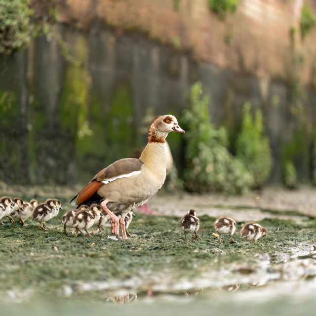 """Egyptian goose (Alopochen aegyptiacus) family, taken in the UK"" stock image"