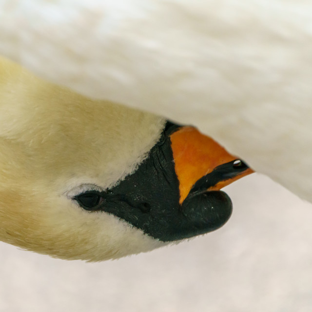 """Mute swan (Cygnus olor), taken in the UK"" stock image"