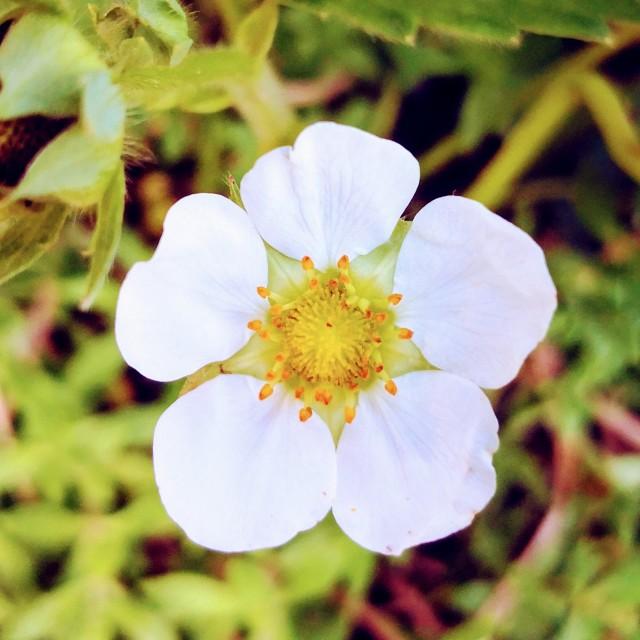 """A White Spring Flower"" stock image"