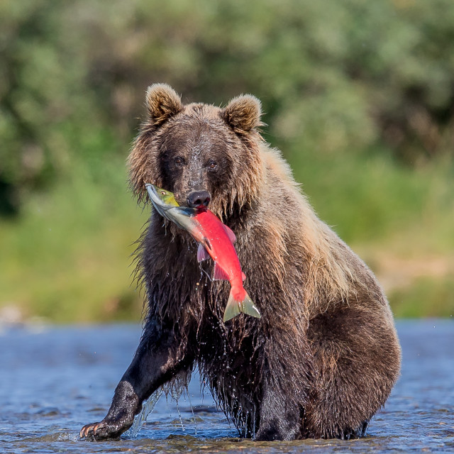 """""""Brown bear, grizzly, with freshly caught salmon"""" stock image"""