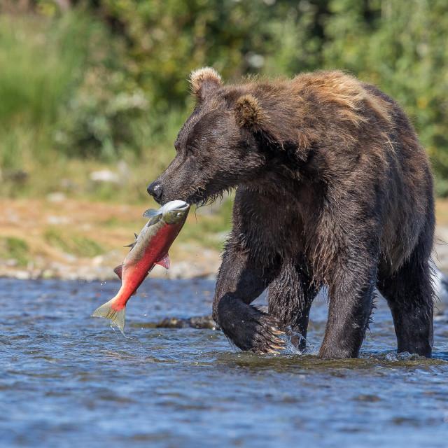"""Brown bear, with salmon"" stock image"