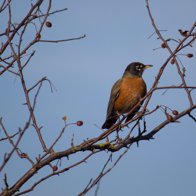"""robin sitting in a bare tree"" stock image"