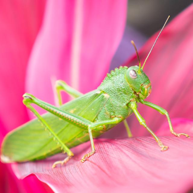 """""""Giant Green Katydid in Belize"""" stock image"""