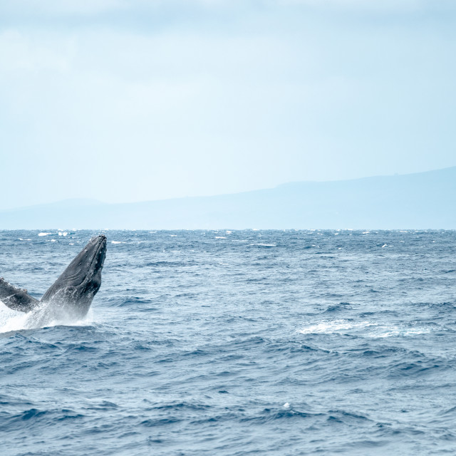 """A mother and calf humpback whale breaching in Maui, Hawaii"" stock image"