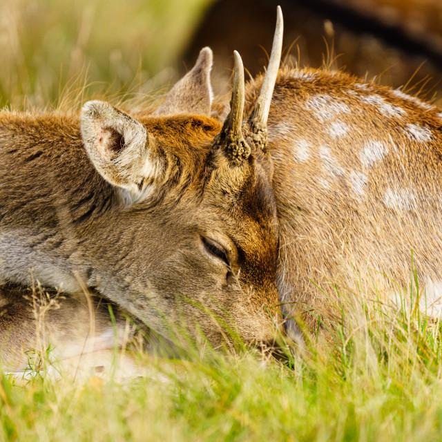 """Young male Fallow Deer (Dama dama), taken in UK"" stock image"
